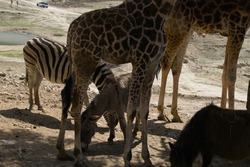 a zebra and a donkey eating grass between the legs of a pair of giraffes. animals