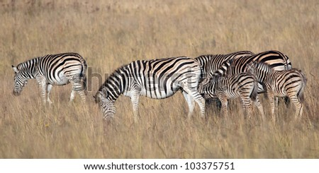 A Zebra family on the plains with adults and youngsters