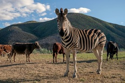 A zebra grazing with other farm animals, South Africa, Route 62, Swartberg.