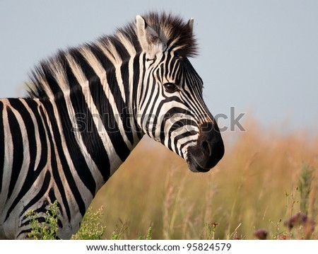 A Zebra Head And Shoulders From The Side With Soft ...