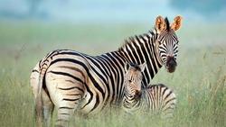 A Zebra Mom with her baby zebra