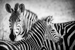A zebra mother feeds her cub in the Serengeti National Park