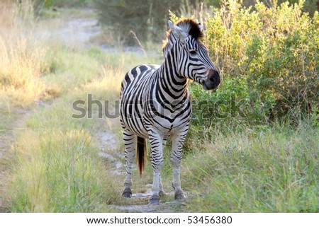 A zebra standing almost face on in the middle of a road in the Okavango Delta, Botswana.