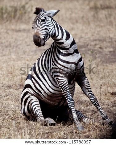 A zebra struggles to give birth in Serengeti National Park, Tanzania.