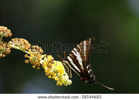 a zebra swallowtail butterfly on the tip of a butterfly bush with room for your text
