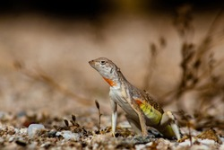 A zebra tailed lizard, Callisaurus draconoides, in natural habitat. A reptile that is native to the Sonoran Desert, with orange, yellow, white and brown markings. Pima County, Tucson, Arizona, USA.