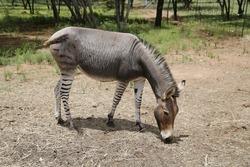 A zebroid,also known as, zedonk, zorse, zebra mule, zonkey, and zebmule