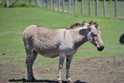 A zebroid is the offspring of any cross between a zebra and any other equine to create a hybrid