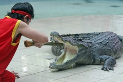 A zoo keeper in Thailand teases a crocodile with a stick