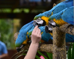 A zookeeper is feeding parrots by hand