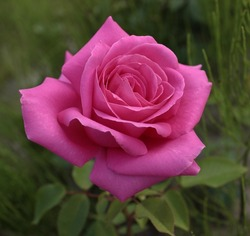 Aachener Dom Hybrid Tea Rose