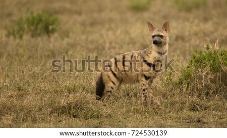 Aardwolf, Proteles cristata, Gol Kopjes, Serengeti National Park, Tanzania, Africa