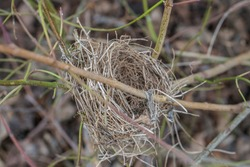 Abandoned bird's nest in a shrub in spring, Germany