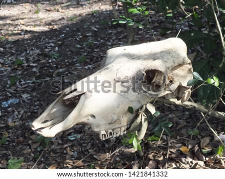 Abandoned bovine skull in grass #1421841332