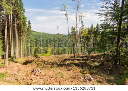 Abandoned cropped logs of alder trees are stored in a meadow. Deforestation, destruction of deciduous forests. Cutting valuable species of trees under the pretext of sanitary cleaning the forest. #1136288711