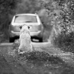Abandoned dog breed Labrador Retriever on a rural road