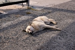 Abandoned dog is sleeping on the ground. The dog starve Sleeping on the road. A yellow tag attached to the ear means that the dog has been spayed, vaccinated and under control.