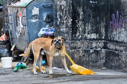 Abandoned dog on the street eating a plastic bag
