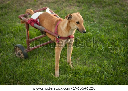 Abandoned dog walking with the help of a cart on green grass Сток-фото ©
