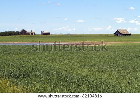 Abandoned farmstead in corn field