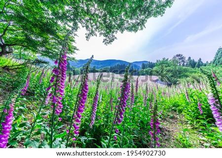Abandoned village where digitalis is in full bloom Stock fotó ©