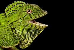 Abbott's Anglehead Lizard (Gonocephalus abbotti)
