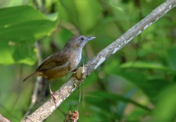 Abbott's babbler.Abbott's babbler is a species of bird in the family Pellorneidae. It is widely distributed along the Himalayas in South Asia and extending into the forests of Southeast Asia.