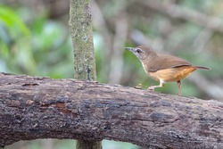 Abbott's babbler perched on dead tree and looking for food.