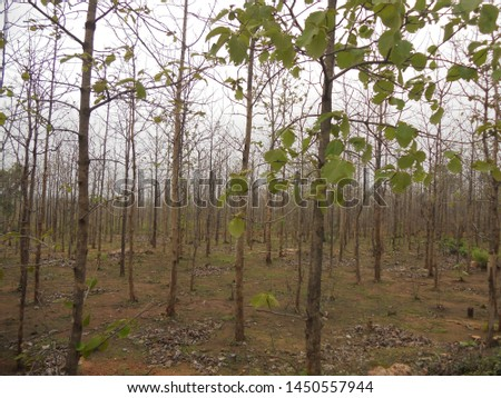 Abeautiful view of teak forest
