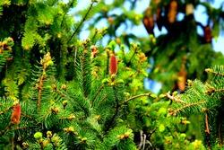 Abies alba the European silver fir or silver fir is a fir native to the mountains of Europe