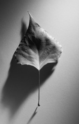 Abstract autumn composition with an old leaf with an elegant shadow in a minimalism style. Black and white photo.