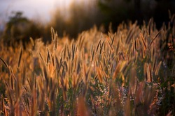 Abstract background of Backlit Grass Flower (selective focus)