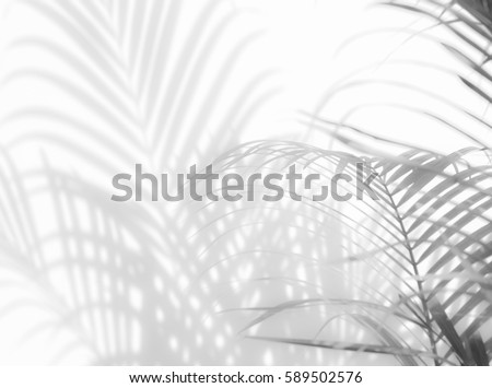 abstract background of shadows palm leaves on a white wall. White and Black #589502576