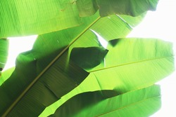 Abstract background of the leaves of the banana tree - Tropical banana leaf texture, large palm foliage nature bright green background - Green economy and ecology concept - Backlight and Bright filter