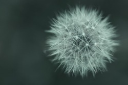 Abstract background of white dandelion on green forest background, top view. Blurred background with shallow depth of field. Concept of fragility and simplicity in nature.