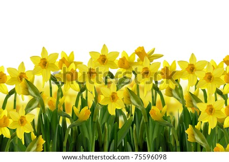 abstract background  of yellow spring daffodils on white background
