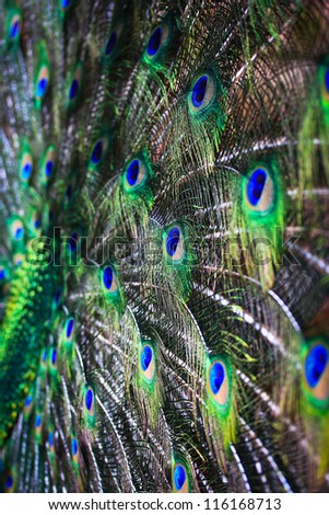 abstract background Peacock feathers
