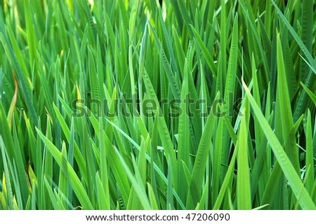 Abstract Background texture of tall, green grass