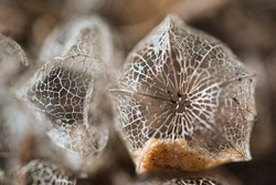 Abstract background with macro physalis groundcherries fruit dry weathered perforated husk lace texture, a concept for ageing, fading away, passing time and a fragility of life.