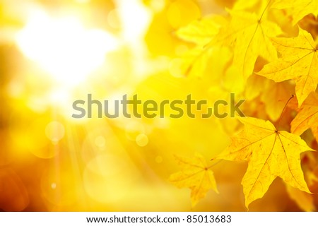 abstract background with yellow autumn maple leaves on the natural background