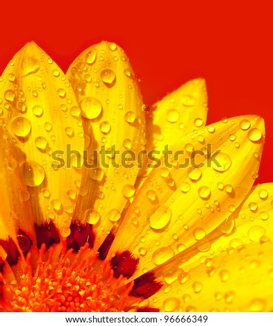 Abstract beautiful flower, colorful floral background , wet yellow petals border, daisy plant over red , nature at spring, macro details