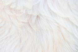 Abstract Beautiful Fluffy White Close-up Dog Hair Background
