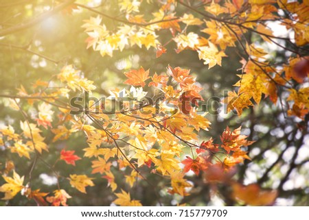 Abstract blur and soft autumn leave background  in Japan #715779709