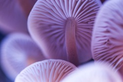 Abstract blurred background with pastel purple colored wild magic mushrooms caps and gill macro, light and shadow contrast, artistic