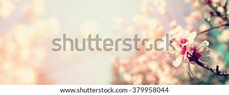 Abstract blurred website banner background of of spring white cherry blossoms tree. selective focus. vintage filtered  #379958044