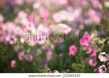 abstract broke pink flowers blurry background - Plant cosmos pink flowers blurry and broke to background and wallpaper.