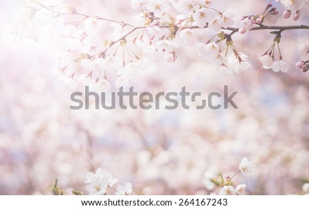 abstract cherry blossom  [Soft focus, Background] #264167243