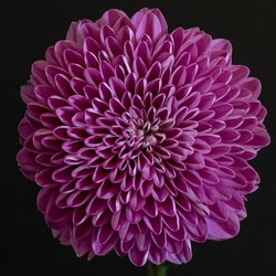 Abstract close-up and macro of the radial symmetry of a dalia flower against black background