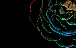Abstract closeup of a colorful rose head isolated on black background