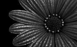 Abstract closeup of a glittering black and white cape marguerite, cape daisy